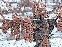Ausztriában csak a legbátrabbak szüreteltek jégbornak való szőlőt